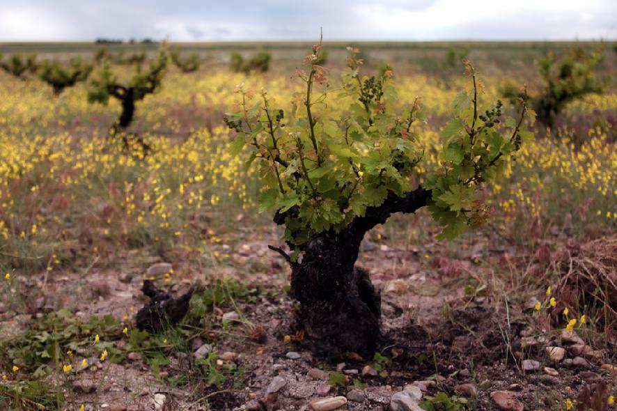 Viña, bodega, vino, agroalimentación, rural, empresa, emprendedora, Segovia.